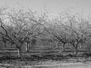 Almond trees at a Buttonwillow rest stop.